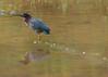 Green Heron IMG_1292 5x7