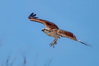 Ospreys!