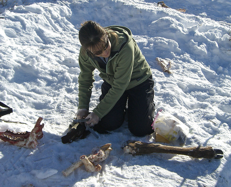 Erin gathering samples of elk at carcass site