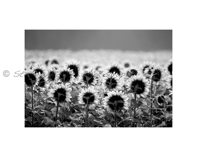 b:w Sun Flowers. Gays Mills. WI.jpg