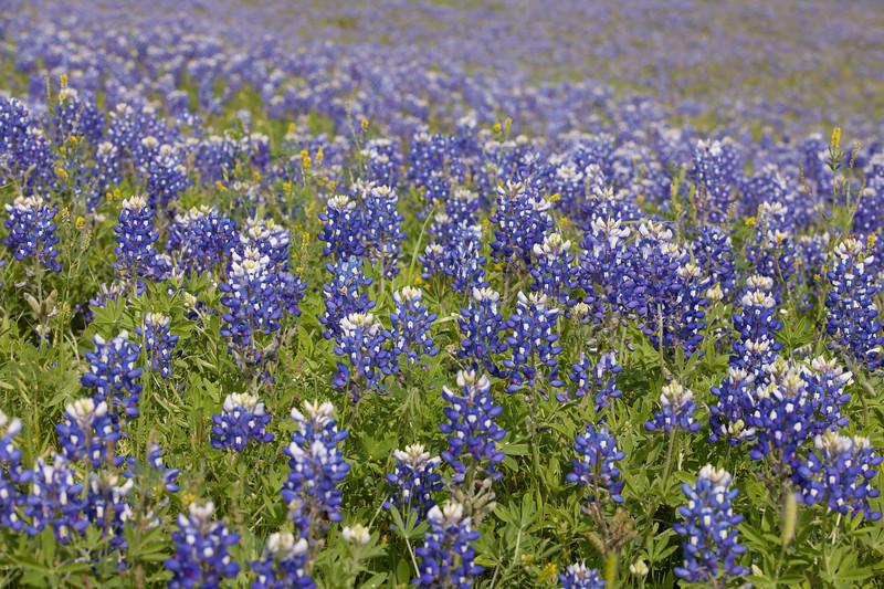 2015_4_3 Texas Wildflowers-7927.jpg
