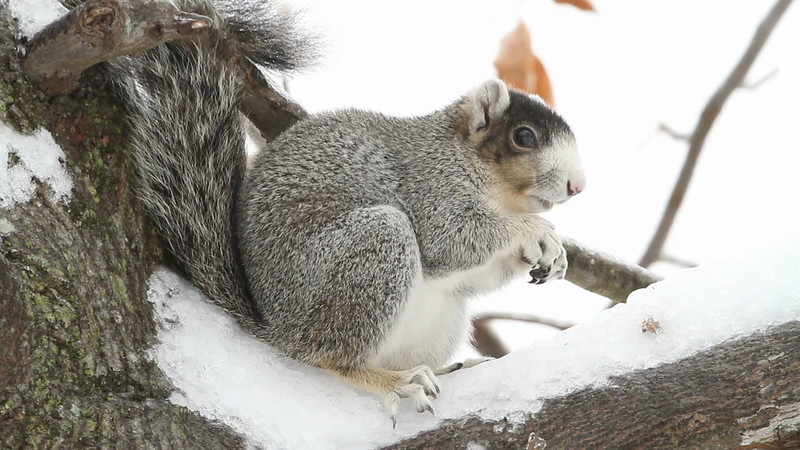 Fox squirrel eating acorns in ice storm