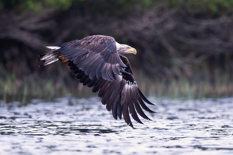 #1512 Bald Eagle