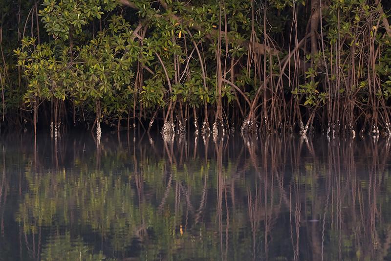 Mangrove Tendaba, Gambia 4.2.2016 Canon 7D Mark II + Tamron 150-600 mm 5,0-6.3 @ 150 mm