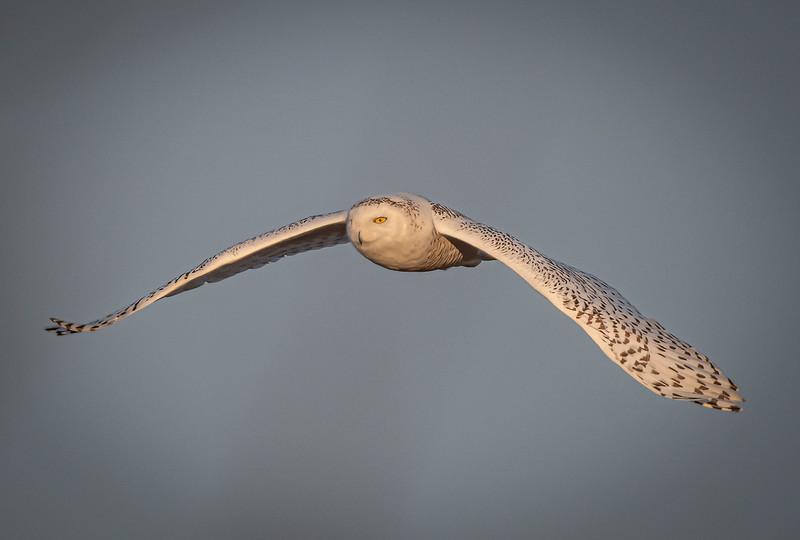 _5004611 Snowy Owl wide wings down.jpg