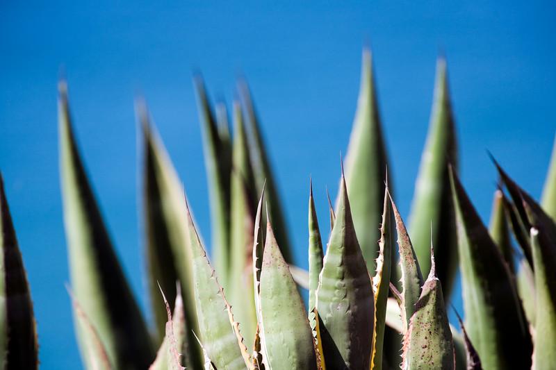 Agave, pita or century plant. Town of Sagres, municipality of Vila do Bispo, district of Faro, region of Algarve, southwestern Portugal