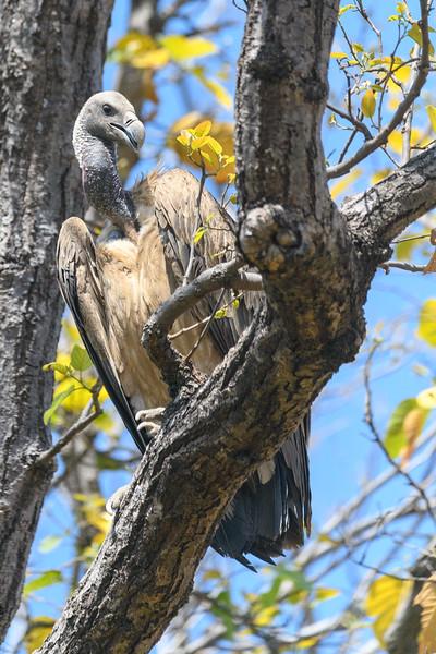 An Indian or Long-billed Vulture roosting in Bandhavgargh NP