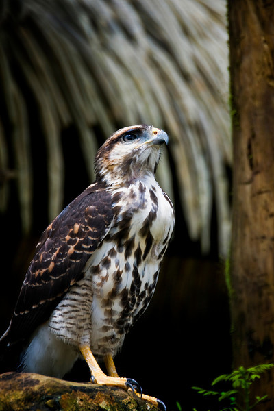 Peregrin falcon  Costa Rica.jpg