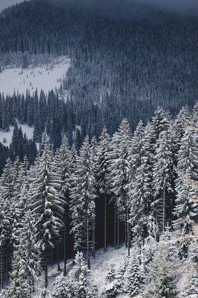 forest snow winter trees.jpeg