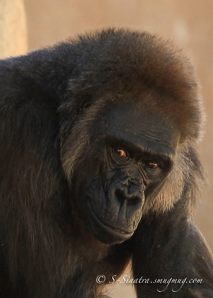 face of a gorilla -3.jpg