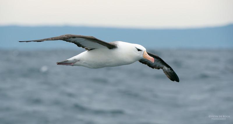 Black-browed Albatross, Wollongong Pelagic, NSW, Aus, Apr 2014-2.jpg