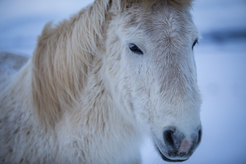 Icelandic horses are somehow better looking than other horses.