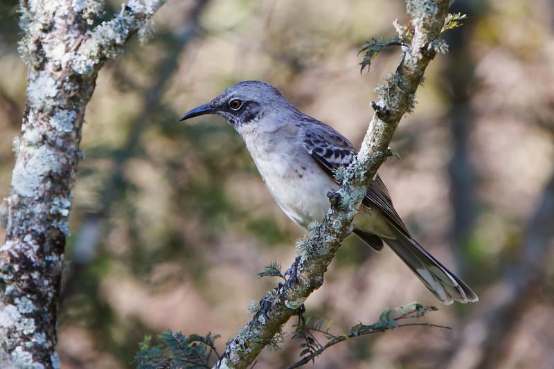 San Cristobal Mockingbird at Puerto Baquerizo Moreno, San Cristobal, Galapagos, Ecuador (11-21-2011)-12.jpg