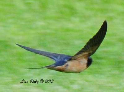 Barn Swallow, At the fish hatchery in Decorah Iowa. 6/30/13.