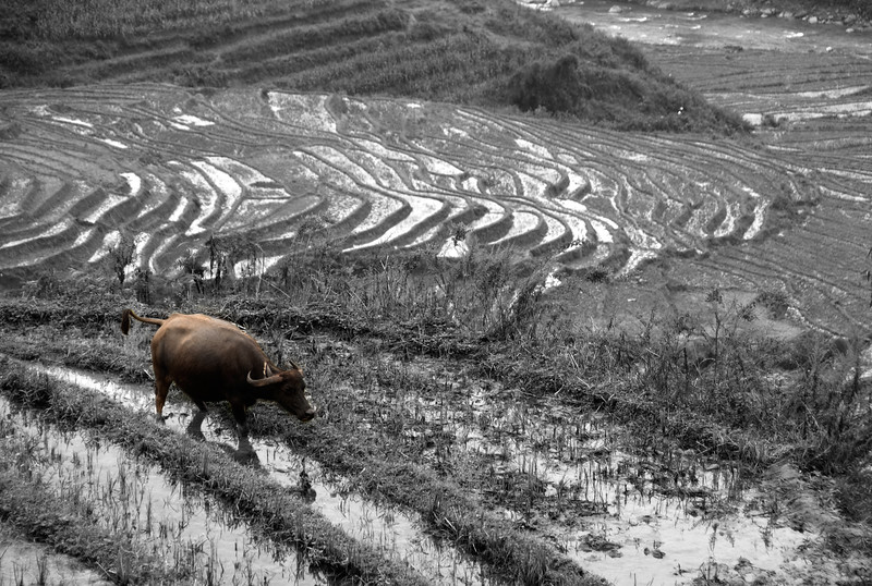 Rice terraces, Sa Pa, Vietnam