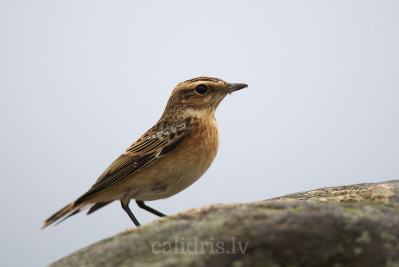 Whinchat, juvenile 1th year