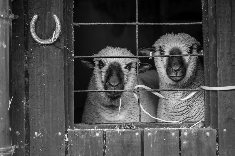 sheep hawes (1a).JPG