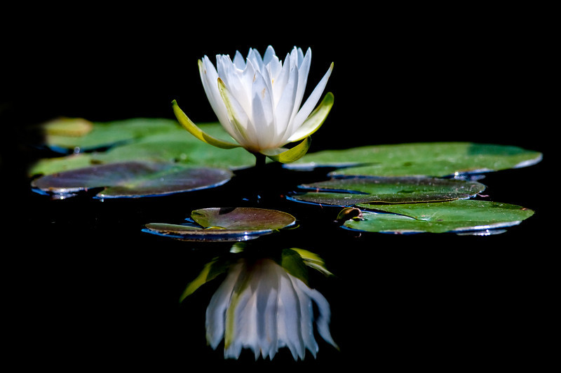 #89 Water lily, Deep Cut Gardens, Middletown, NJ.
