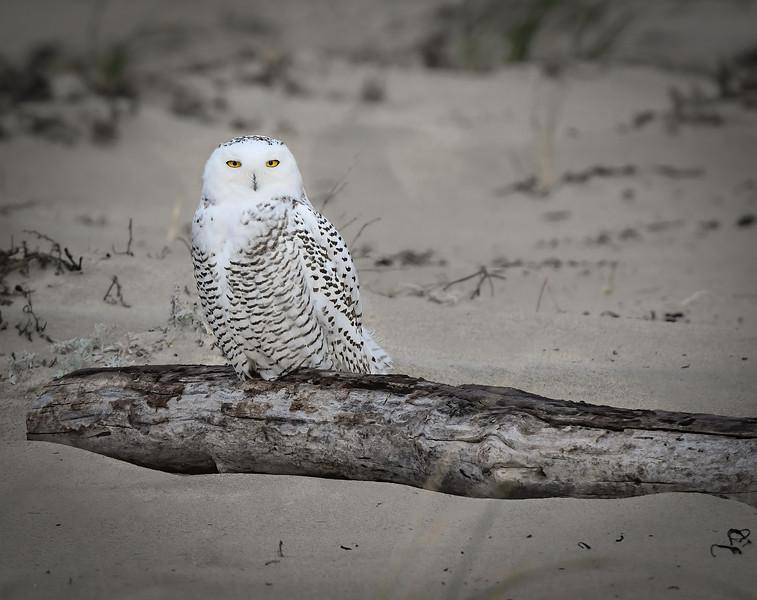DSC_0172-Edit Snowy Owl light.jpg