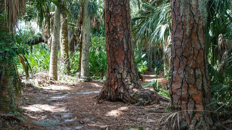 Massive slash pines along footpath