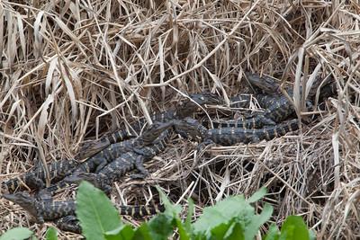 untitled20110203_AlligatorBaby MyakkaLakeFL_7I2B4532_11-02-03