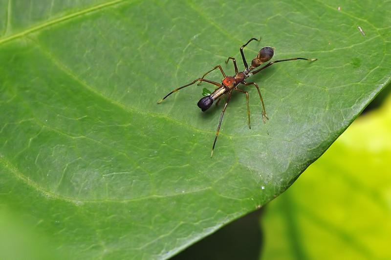Ant-mimic-Spider-03.jpg