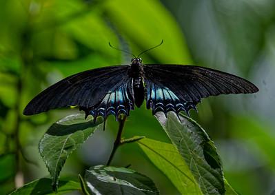 Papilionidae (swallowtail butterflies)