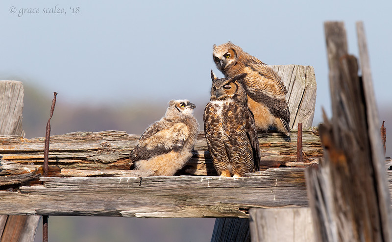 Great Horned Owl and chicks