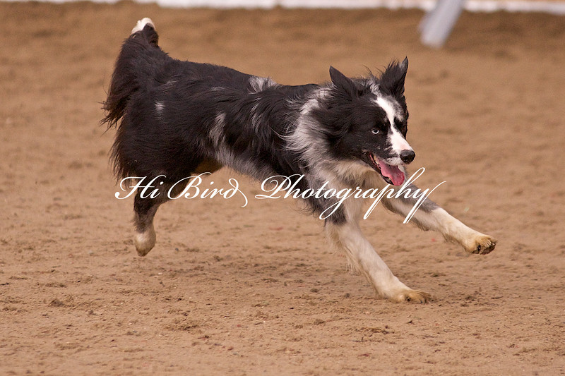 medium dog agility 1157.jpg