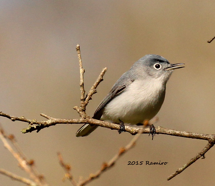 Blue-gray gnatcatcher 3-27-15 286.jpg