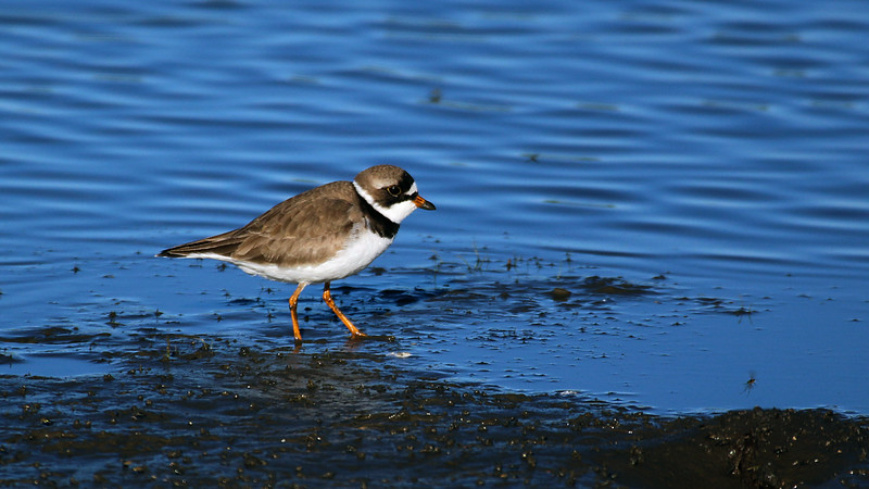 Semi-palmated Plover at Merced NWR 1