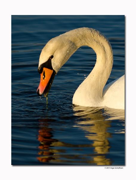 Swans of Copenhagen / Københavns svaner