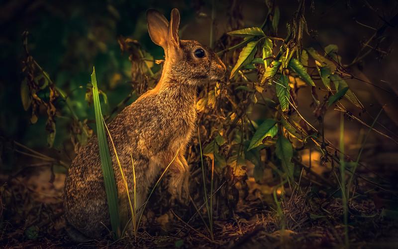 Florida Marsh Rabbit - 13.jpg