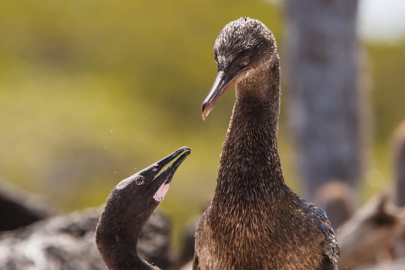 Flightless Cormorant at Punta Moreno, Isabela, Galapagos, Ecuador (11-23-2011) - 478.jpg