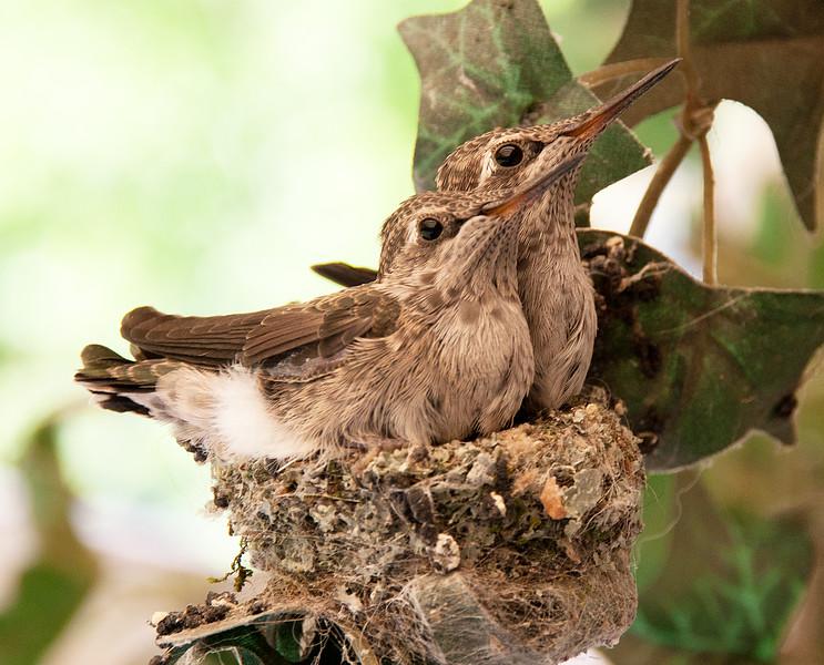 Hummingbird Chicks, Last Day in the Nest