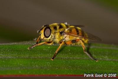 Totenkopfschwebefliege (Myathropa florea)