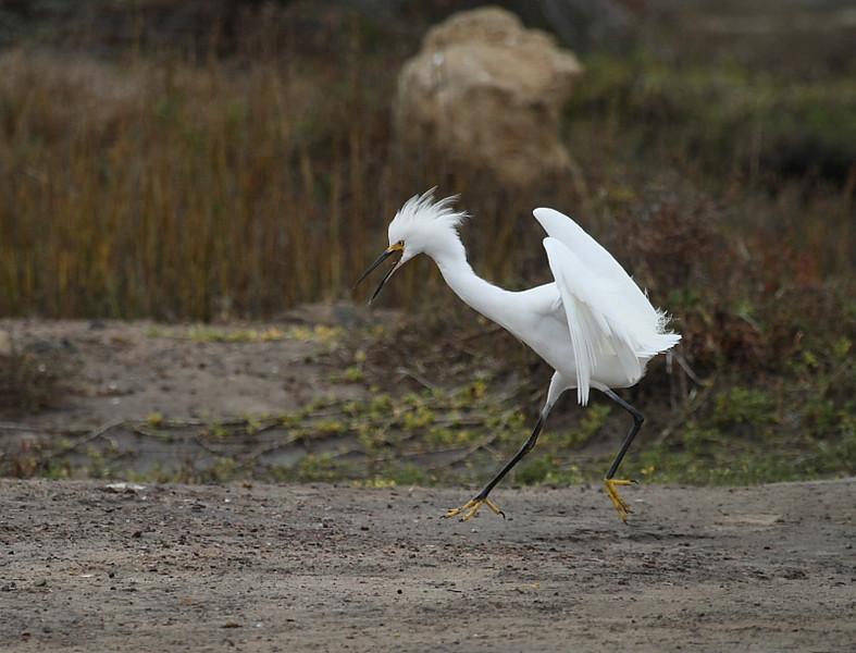 Snowy Egret chasing away Juvenile Little Blue Heron, Famosa Slough, San Diego County, California, December 2008