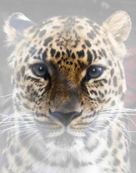 Leopard  1  .jpg