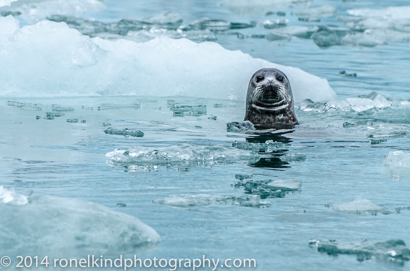 A seal's whiskers help it hunt and navigate by sensing pressure waves from fish and underwater objects.