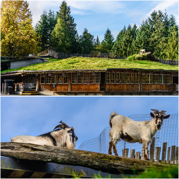 Goats-On-The-Roof-Coombs-BC.jpg