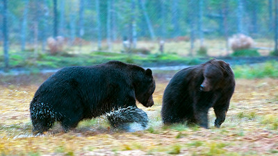 Bear fight series