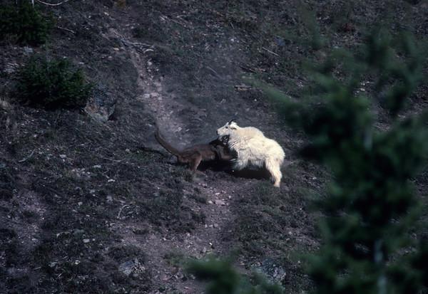 My Favorite Wildlife Encounter - Lion Attacks Mountain Goat, Glacier National Park, Montana 1992