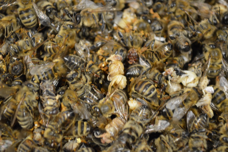 2015-01-30_Hive#3_Dead_Bees_003.JPG