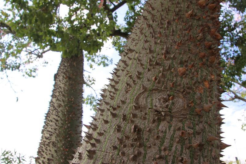 Kapoc tree