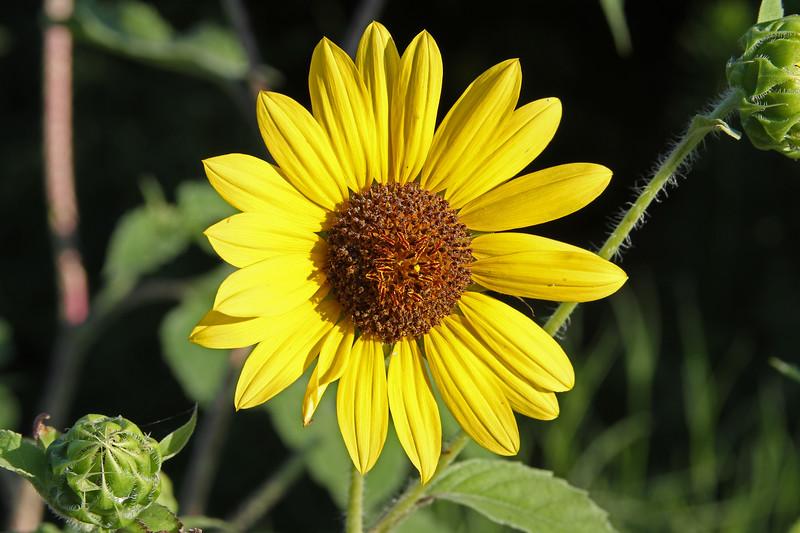 Helianthus annus - Common Sunflower
