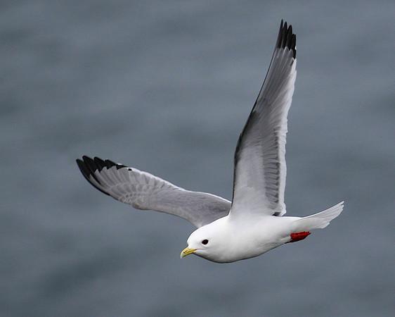 LARIDAE Gulls