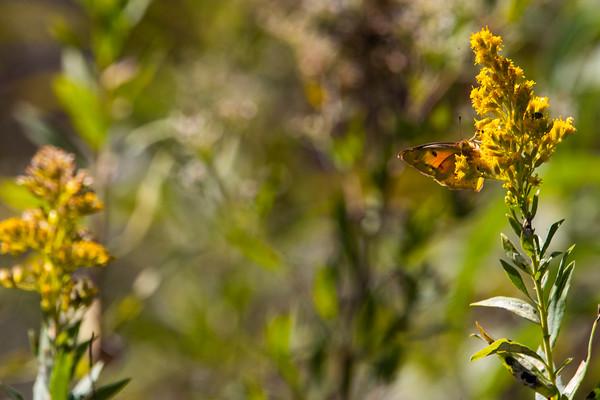 Konza Butterflies
