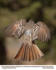Ash-throated Flycatcher A27114.jpg