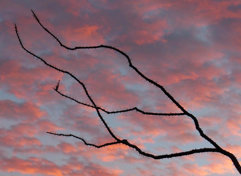 Branching Ocotillo at sunrise.
