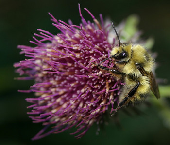 Bumblebee on thistle...starting to wake